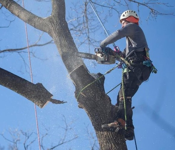 Garden Grove Tree Service worker cutting branches high in tree for tree removal.