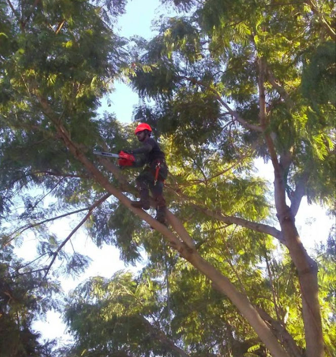 Tree trimmer with red safety helmet high up in tree in Anaheim near Garden Grove
