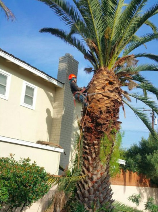 Photo of palm tree trimmer in tree in Garden Grove, CA.